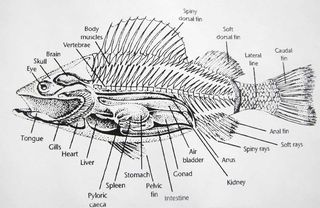 Fish_anatomy